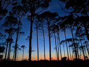 Gulf Sunset Through the Pines