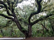 Live Oak with Vines