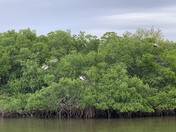 Mangroves and Pelicans