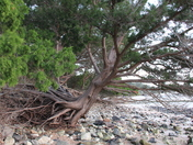 Resilient Tree @ Fort Clinch State Park