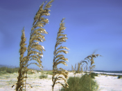 Sea Oats - St George Island