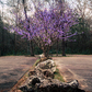 Purple Tree in the Woods