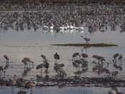 Pelicans and Cranes
