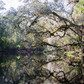 Reflections on an old Live Oak