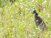 Grouse in Field