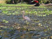 Tri-Colored Heron Wading in the Wekiva