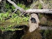 Wekiva River Yellowbellirs