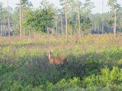 A Deer at Highlands Hammock State Park