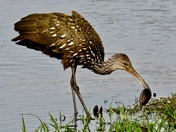 limpkin and snail