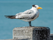 Banded Royal Tern standing on the concrete pylon