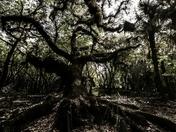 Entangled Oaks