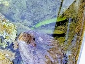The Florida Snapping Turtle Under the Dock at Silver Springs