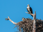 Osprey Full House