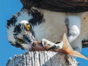 Osprey enjoys a snack