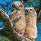 Twin Owlettes