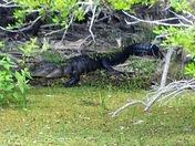 Myakka gator