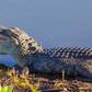 Alligator 🐊