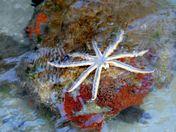 Nine Armed Sea Star