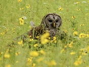 Barred Owl In The Flowers