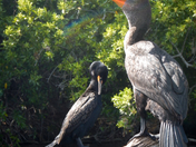 Double Double Crested Cormorants