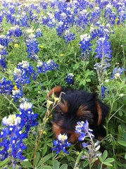 Blue Bonnet Photo