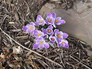 First bloom of Spring in Rochester,NY