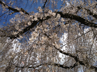 Weeping Japanese Cherry Tree