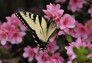 Monarchs and Azaleas