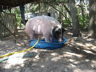 'Pigms' in her pool