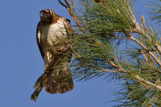 Red Tail Hawk Guarding Nest