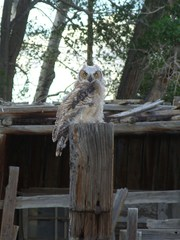 My backyard owl