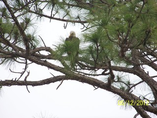Eagle perched in a tree in Interlachen Lake Estates