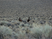 Wild horses near Mono Lake, CA