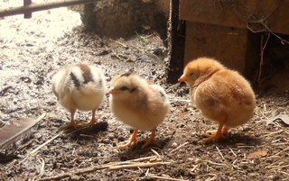 New baby chicks