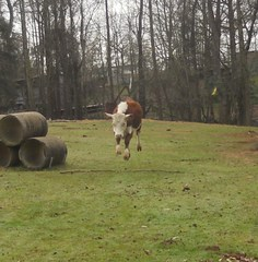 A leaping cow!