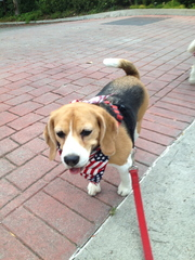 Kiaora The Beagle Gets Into The 4th Of July Sprit