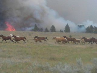 Horses running from a wild fire.