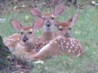 Three Fawns Have Taken up Residence in our Backyard