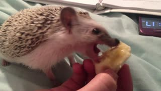 Hedgehog Eating a Banana Part 1
