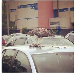 Hawk eats Lunch on top of a car