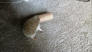 Hedgehog with a toilet paper roll