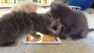 Foster kittens play with iPad