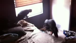 Doberman vs Cat