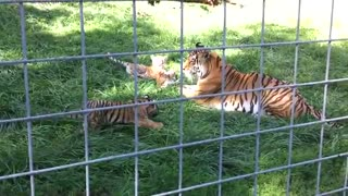 Tiger Cubs and Mother Play, Toddler Narrates