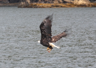 Salmon fishing eagle in Alaska
