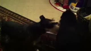 Our cat slapping our dog.