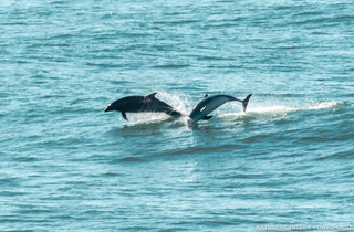 Dolphins in San Francisco
