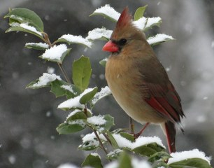 Cardinal on the holly bush