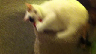 Cat catching cat toy thrown to it