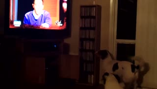 Corgies transfixed by Redeye cat video